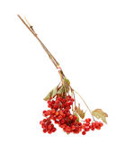 Viburnum bunch of red (Viburnum opulus) Stock Photo