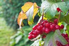 viburnum bush ягод стоковое изображение rf