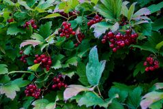 Viburnum bush in autumn. Green bush viburnum with red fruits in October. photographed at sunrise royalty free stock image