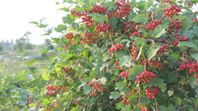 Viburnum bush with berries stock video footage