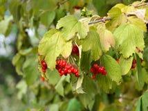 Viburnum bush and berries Royalty Free Stock Photo