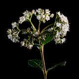 Viburnum Bush Blooms Royalty Free Stock Image