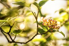 Viburnum bush with blossom buds in back light. In spring in Germany Stock Photography