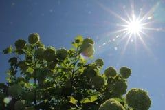 Viburnum. Bush of viburnum boules de Neiges Royalty Free Stock Images