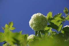 Viburnum. Bush of viburnum boules de Neiges Royalty Free Stock Photo