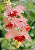 Viburnum bush branch Stock Images