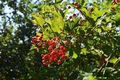 Viburnum bush with bunch of berries. Sunny day in the garden stock photography