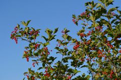 Viburnum bush in the garden. Branches with red berries and green leaves on the background of blue sky.  stock images