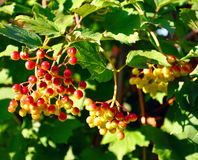 Viburnum bush with red berries Stock Photo