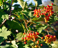 Viburnum bush with red berries Stock Images