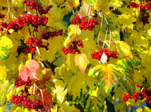 Viburnum bush with red berries Stock Photos