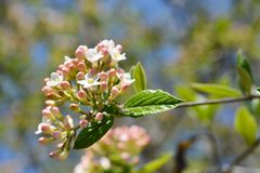 Viburnum carlesii Fotografia Stock
