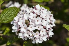 Viburnum carlessii `Aurora` Royalty Free Stock Image