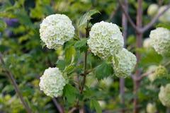 Viburnum. Closeup flowers of Viburnum Carlesii Stock Images
