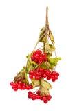 Viburnum cluster Stock Images