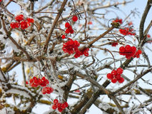 Viburnum clusters on branches in winter Royalty Free Stock Image
