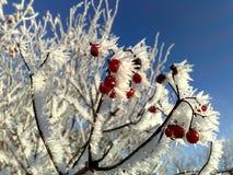 Viburnum coberto com a geada em um dia gelado imagens de stock