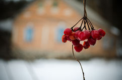 Viburnum. A cold winter day at the countryside Stock Photo