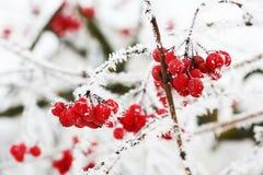 Viburnum congelé par hiver sous la neige photos stock