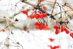 Viburnum congelé par hiver sous la neige Première neige Bel hiver image stock