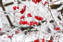 Viburnum congelado inverno sob a neve Viburnum na neve Primeira neve outono e neve Inverno bonito Vento do inverno Sincelos fotos de stock