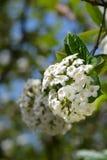 Viburnum coréen d'épice image stock