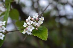 Viburnum coréen d'épice image libre de droits