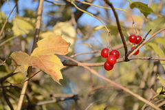 Viburnum. Couple viburnum berries on a branch among autumn yellow leaves Stock Photos