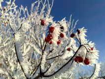Viburnum covered with frost on a frosty day stock images