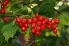 Viburnum czerwieni jagody obraz royalty free