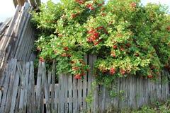 Viburnum de Fence_ Fotografía de archivo libre de regalías