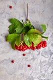 Viburnum de la rama con las hojas del verde en el hormigón imagen de archivo