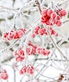 Viburnum in de sneeuw Eerste sneeuw stock fotografie