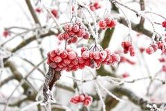 Viburnum in de sneeuw De mooie Winter stock fotografie