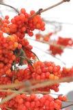 Viburnum in de sneeuw De mooie Winter royalty-vrije stock foto