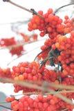 Viburnum in de sneeuw De mooie Winter royalty-vrije stock afbeeldingen