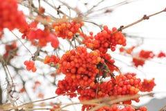 Viburnum in de sneeuw De mooie Winter stock afbeeldingen