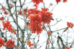 Viburnum in de sneeuw De mooie Winter stock afbeelding
