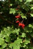 Viburnum del árbol Verdes jugosos brillantes Pequeñas bayas rojas Imagenes de archivo