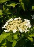 Viburnum di fioritura Immagini Stock
