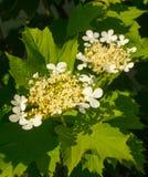 Viburnum di fioritura Fotografie Stock