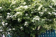 Viburnum die met witte bloemen in de lente op een grote struik bloeien royalty-vrije stock foto's