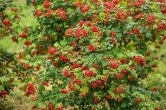 Viburnum do vermelho do arbusto Fotografia de Stock Royalty Free