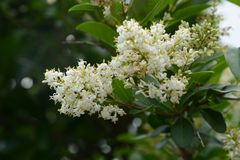 Viburnum doux photo stock
