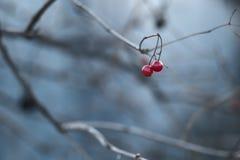 Viburnum em um ramo Foto de Stock Royalty Free