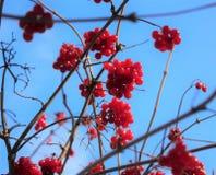 Viburnum en el árbol Imagenes de archivo