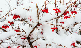 Viburnum en la nieve 1 Imagen de archivo libre de regalías