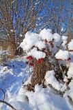 Viburnum en nieve fotos de archivo