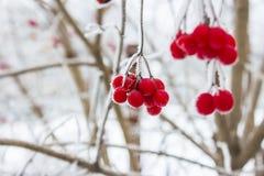 Viburnum en nieve Invierno Imagenes de archivo