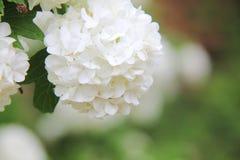 Viburnum. Flor blanca. Fotografía de archivo